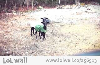 Screaming Sheep Twins. from www.lolwall.co