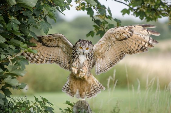Eagle Owl de andrew-hill