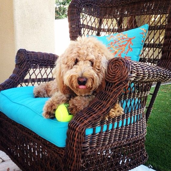 We're beginning to wonder whether humans ever get a chance to sit on #Pier1 outdoor furniture. But we wouldn't want to make a cutie like @poppydoodlepoodle move. #goldendoodlesofinstagram  Find a Sunset Pier Swivel Rocker for your dog via our Like2b.uy/Pier1 link in our Instagram profile.
