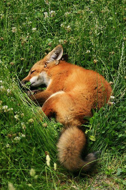 Sleepy Fox: Wild Animal, Sweet Dream, Pet Fox, Red Fox