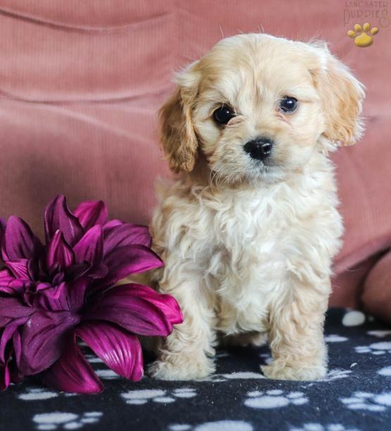 Lottie Cavachon Puppy For Sale In Mifflinburg Pa Lancaster