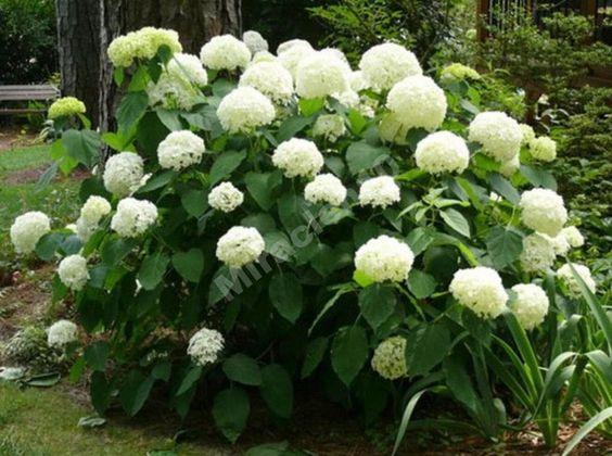 Гортензия древовидная бела (Гидрангия  Hydrangea)