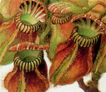 Cephalotus follicularis (detail) by Ferdinand Bauer, collected at King George Sound during Matthew Flinder's survey of the south coast of Australia,1801
