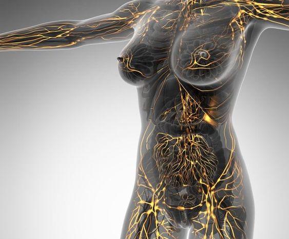 El sistema linfático juega un papel importante en nuestro día a día, este sistema toca casi todas las partes del cuerpo.