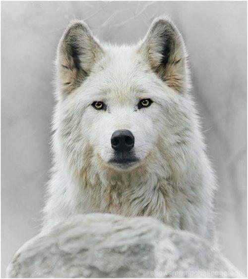 Lobo blanco // detrás de roca