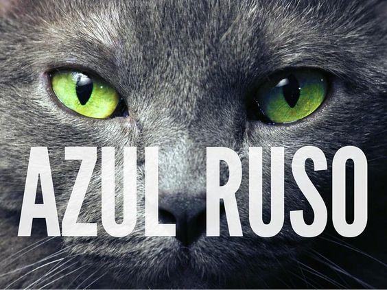 Te presentamos al gato azul ruso, también llamado Arcángel Azul. Dotado de un…