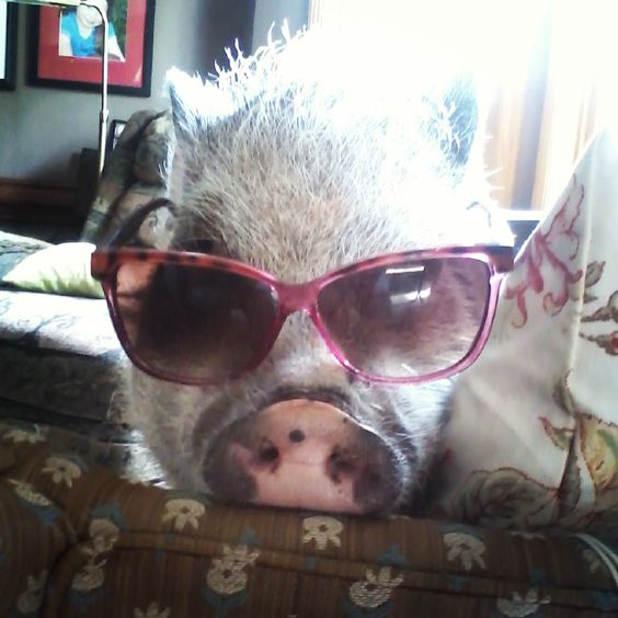Pig ready for summer