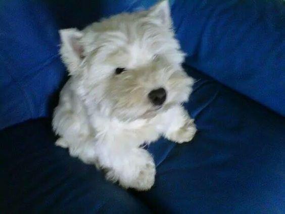Anna, chien West Highland White Terrier