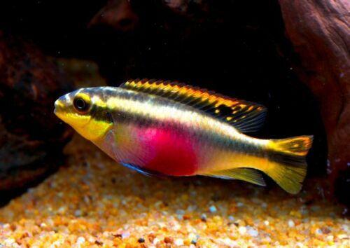 Kribensis Cichlid Pelvicachromis Pulcher Care Level Easy Max Size 10cm Min Tank Size 50 Litres Diet Omnivore Tropical Fish Tropical Fish Aquarium Fish