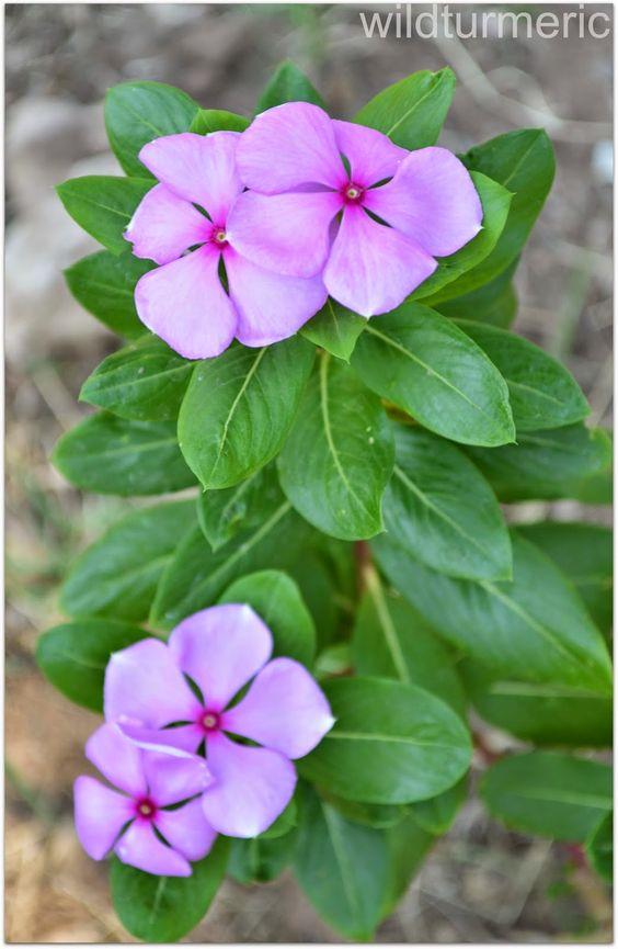4 Top Health Benefits Of Nithyakalyani Sadabahar Flower Rosy Periwinkle Madagascar Periwinkle Wildturmeric Common Garden Plants Periwinkle Plant Plant Benefits