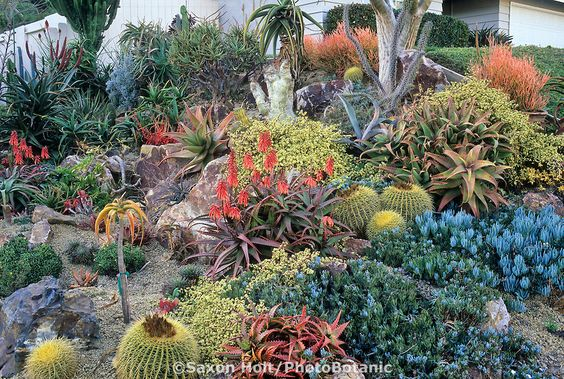 California drought tolerant succulent garden tapestry with Golden barrel cactus, Echinocactus grusonii, Aloe elgonica, A. cameronii, Senecio; design Jeff Moore