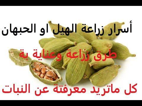 26 هيل او حبهان كشف لغز زراعتة الصحيحة Elettaria حلقة 330 Youtube Food Peanut Almond