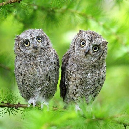 Little Owls (by Miroslav Hlavko).: