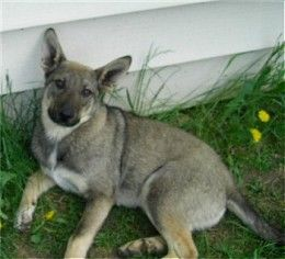 Can You Cross Breed Dogs And Coyotes