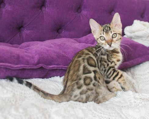 Available Kittens Bengal Breeders Home In 2020 Cat Breeds Kittens Pets