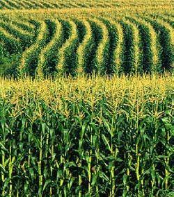 Kussmaul Seeds Sales Team - Sell Corn Seed