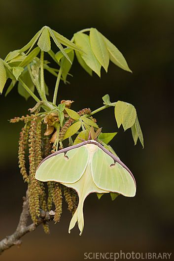 Male Luna Moth (Actias luna) resting on a Mockernut Hickory (Carya tomentosa) branch in spring as it is flowering and leafing out. Mockernut is also known as white hickory. In Congaree National Park, this hickory is found on bluff habitats. Note the feather antenna that confirm this moth is a male. Congaree National Park, SC.  Credit: JEFF LEPORE/SCIENCE PHOTO LIBRARY