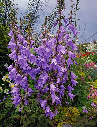Perennials Lavender And Shades On Pinterest