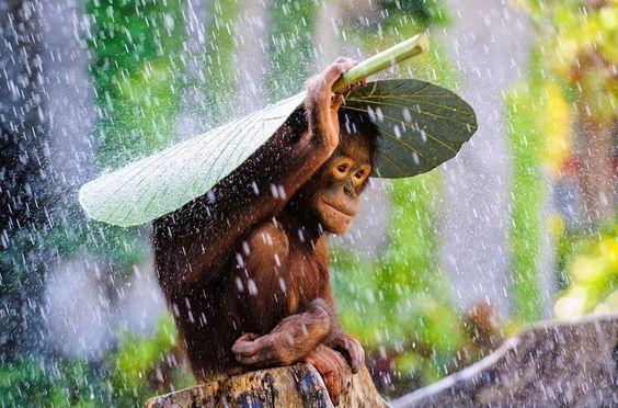 19. Юный орангутан прячется от дождя.