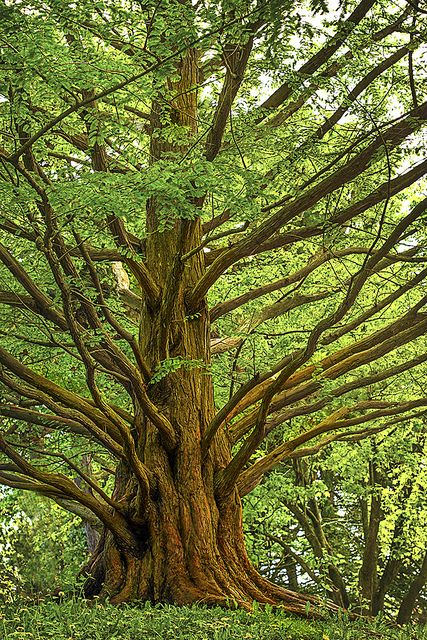#TwitterTuesday #Trees | Metasequoia (dawn redwood)-one of m… | Flickr