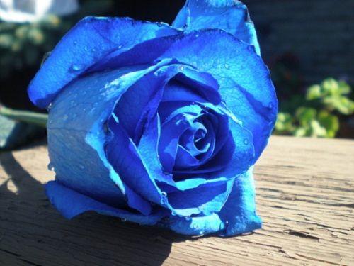 Sky blue roses sky blue rose flower wallpaper sky blue rose flower
