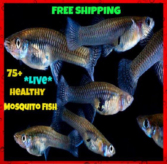 75 Live Mosquito Gambusia Small Minnow Pond Aquarium Feeder Guppy Pet Fish Guppy Mosquito Fish Pet Fish