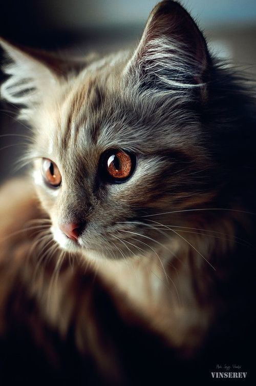 オレンジアイの猫