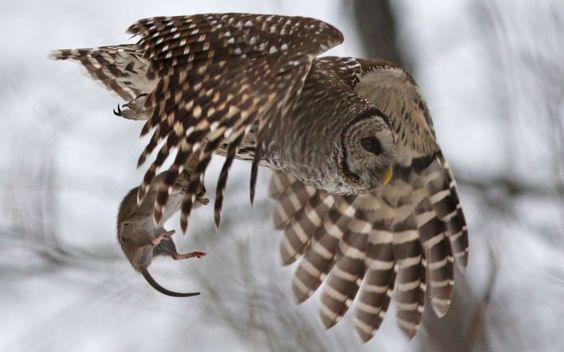 This rat's days were numbered when a keen-eyed barred owl spotted it scampering through the snow. Wildlife photographer Mircea Costina says: I found this bird in the forest, north of Quebec City, Canada. After a couple of hours in his company, at -30 degrees Celsius, finally, the owl started hunting. He captured a huge rat right in front of me. After that, he swooped up to a tree-branch perch and devoured the whole prey.