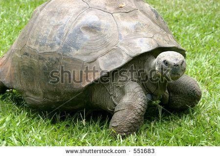 charles darwin tortoise harriet | Harriet, Galapagos Land Tortoise, brought to Australia by Charles ...