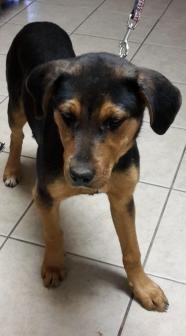 Lexie - Treeing Walker Coonhound