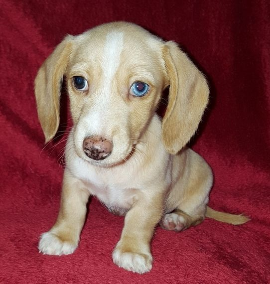 Loki Dachshund Puppy Puppyspot Dachshund Puppies For Sale
