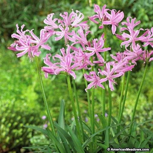 Nerine Lily Lily Bulbs Spring Flowering Bulbs Lily Plants