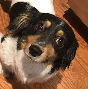 Adopt Bowie On Adoptable Dachshund Dog Dogs Dog Spay