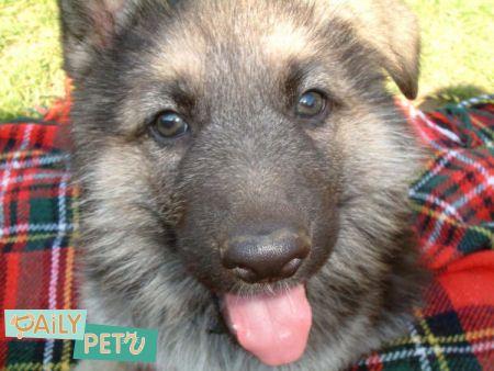 soo cute   PET KINGDOM   Pinterest   German Shepherds, German Shepherd ...