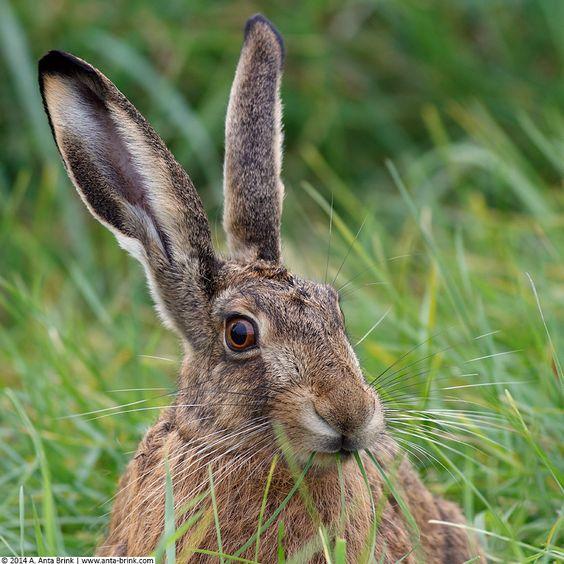 Feldhase - European hare - Lepus europaeus - Lièvre d'Europe - liebre común - iebre europea - liebre europea