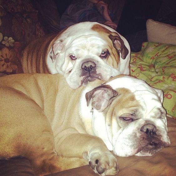 I think someone is tired #englishbulldogs #bulldogs #bestfriends #Padgram