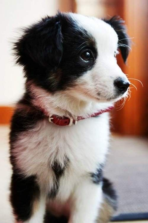 Border Collie puppy  That's the sweetest face.