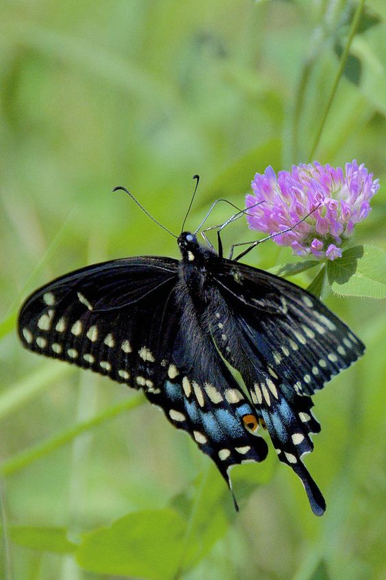 Eastern Black Swallowtail by Henrietta Oke**
