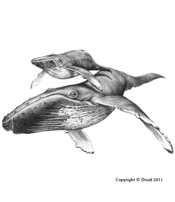 Humpback Whale Line Drawing : Humpback whale line drawing