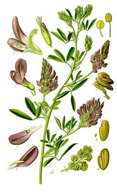 Medicago sativa Alfalfa, Yellow alfalfa: