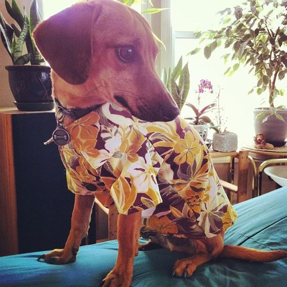 Aloha from Blondie in his Tommy Bahama shirt! (via @Diana Avery Nelson)