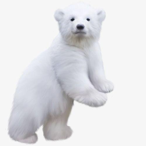 Polar Bear Bear Polar Bear Polar