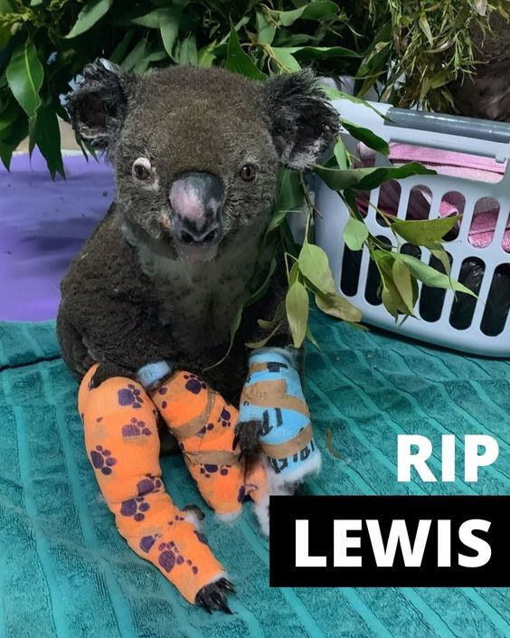 Rip Lewis Help Save Australia In 2020 Koala Australia Animals