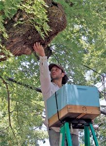 """I love this guys ideas about bee """"stewardship"""".   Smitten with bees - Sustainability - Green Guide - July 28, 2011 - Chico News & Review"""