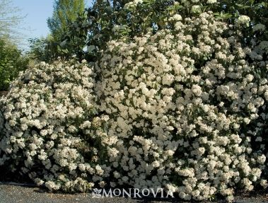 (E) Spring Bouquet Viburnum. Evergreen shrub with white, fragrant flowers.  Border, hedge, woodland garden.  Screen for utilities?