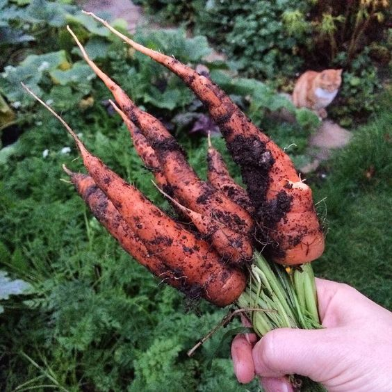 Early evening #gardening! #homegrown #carrots! So pleased! Special place in my heart as they remind me of my grandfather who had some veg beds in the garden and when we were young me and my brother would help him prepare the soil! #neverforget #growyourown #homegrown #homegrownveggies #frugal #wonkyveg #cat #cats #catsofinstagram #organic #nochemicals #allotment #potager #cottagegarden #vegetableplot #vegetables #food #fresh