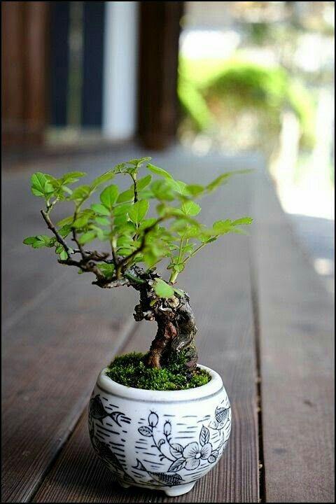 Pin By Woolmosswood On Mini Bonsai Meme Bonsai Tiny Trees Fairy Garden Trees Zen Garden Trees Bonsai Tree Care Indoor Bonsai Tree Indoor Bonsai