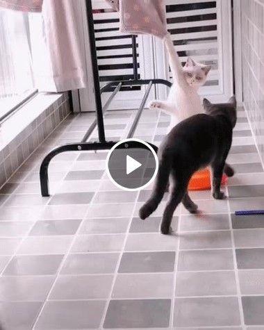 Quando sua gata está estendendo roupas, mas você quer namorar