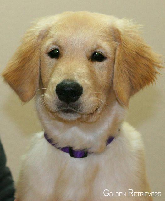 Golden Retriever Pup Goldenretrieverclub Goldenretrieverworld