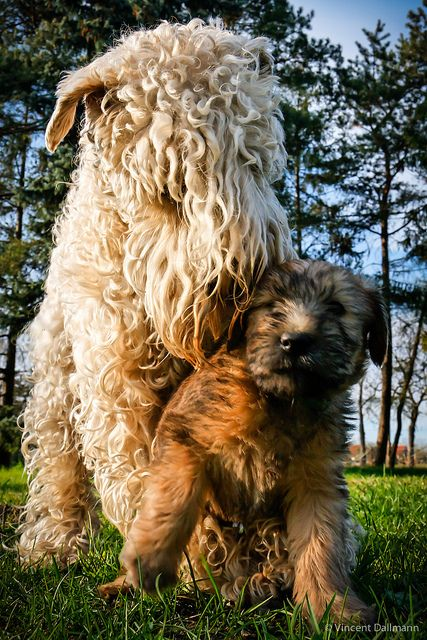 Mom and baby Wheaten Terriers. Soft Coated Wheaten Terrier dog art portraits, photographs, information and just plain fun. Also see how artist Kline draws his dog art from only words at drawDOGS.com #drawDOGS http://drawdogs.com/product/dog-art/soft-coated-wheaten-terrier-dog-portrait-by-stephen-kline/ He also can add your dog's name into the lithograph.